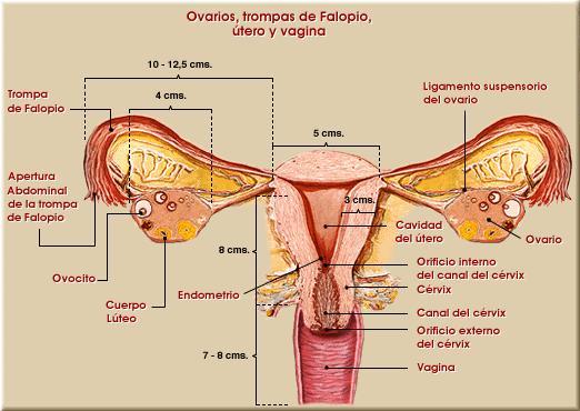 Anatomía - Asociación Endometriosis España